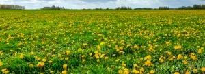 dandelion field weed control